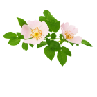 Rose Wild Absolute